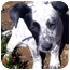 Photo 1 - Dalmatian Mix Puppy for adoption in Mandeville Canyon, California - Strudel