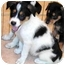 Photo 3 - Australian Shepherd/Australian Cattle Dog Mix Puppy for adoption in Rolling Hills Estates, California - Candy & Champ