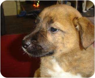 Labrador Retriever/Shepherd (Unknown Type) Mix Puppy for adoption in Old Bridge, New Jersey - Justus