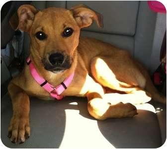 Shepherd (Unknown Type) Mix Puppy for adoption in Plainfield, Illinois - Sage