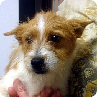 Westie, West Highland White Terrier/Jack Russell Terrier Mix Dog for adoption in Manassas, Virginia - Bently