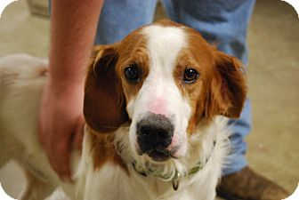 Brittany Dog for adoption in Oakville, Connecticut - AJ
