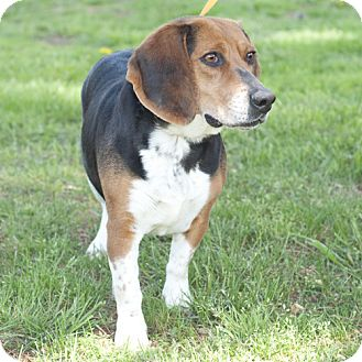 Beagle Dog for adoption in New Martinsville, West Virginia - Phyllis
