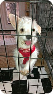 Maltese/Dachshund Mix Dog for adoption in Spring Branch, Texas - Eddie
