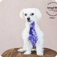 Adopt A Pet :: Max - Shawnee Mission, KS