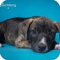 Adopt A Pet :: Hillary - Phoenix, AZ