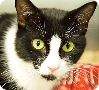 Domestic Shorthair Cat for adoption in Daytona Beach, Florida - Romy