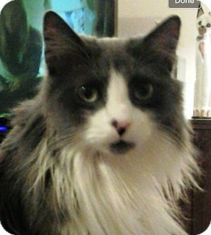 Domestic Longhair Cat for adoption in Riverside, California - Rocket