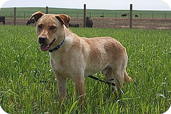 Labrador Retriever Mix Dog for adoption in Russellville, Kentucky - Rhett