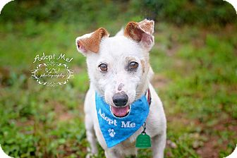 Jack Russell Terrier Mix Dog for adoption in Fort Valley, Georgia - Jack (2)