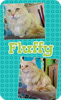 Domestic Longhair Cat for adoption in Edwards AFB, California - Fluffy