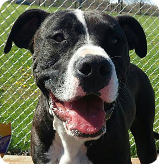 American Pit Bull Terrier/Boxer Mix Dog for adoption in Lapeer, Michigan - Chika-great disposition!