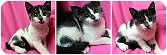 Domestic Shorthair Kitten for adoption in Forked River, New Jersey - Ariel