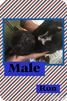 Chow Chow/Retriever (Unknown Type) Mix Puppy for adoption in Jacksonville, North Carolina - Ron