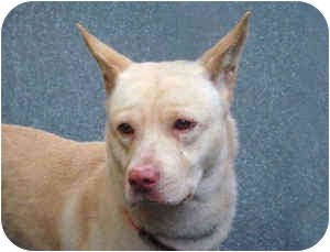 American Staffordshire Terrier/Shiba Inu Mix Puppy for adoption in New York, New York - Sol