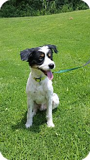 Jack Russell Terrier Mix Dog for adoption in Arlington, Tennessee - Rudy