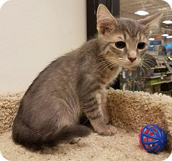 Domestic Shorthair Kitten for adoption in Colonial Heights, Virginia - Cooper