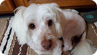 Maltese Dog for adoption in ROSENBERG, Texas - Daisy