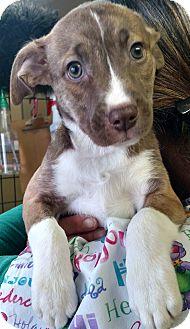 Hound (Unknown Type) Mix Puppy for adoption in Divide, Colorado - Mersey