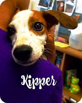 Jack Russell Terrier/Beagle Mix Dog for adoption in Defiance, Ohio - Kipper