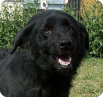Labrador Retriever Mix Dog for adoption in Lafayette, Louisiana - B.B.