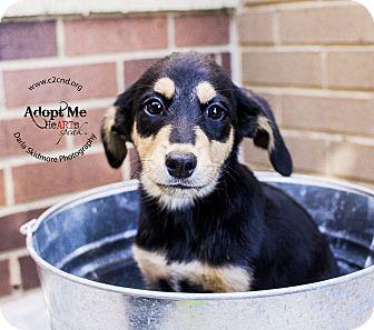 Labrador Retriever/Terrier (Unknown Type, Medium) Mix Puppy for adoption in Charlotte, North Carolina - Morticia (Addams Family Litter