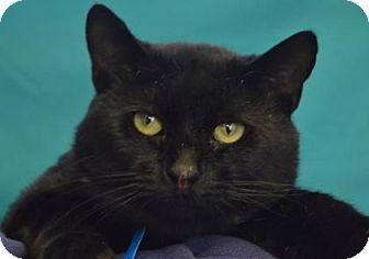 Domestic Shorthair Cat for adoption in Visalia, California - Biscuit