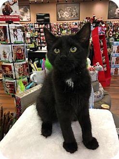 Domestic Mediumhair Kitten for adoption in Turnersville, New Jersey - Grant