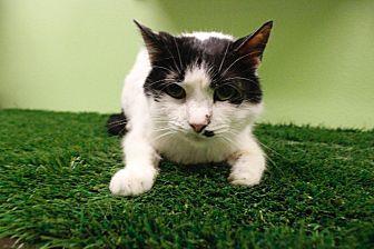 Domestic Shorthair Cat for adoption in Chandler, Arizona - Ubbie Doobie