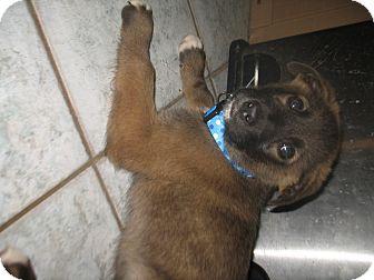 Shepherd (Unknown Type)/Husky Mix Puppy for adoption in Egremont, Alberta - Brolee
