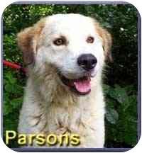 Golden Retriever/Great Pyrenees Mix Dog for adoption in Aldie, Virginia - Parsons