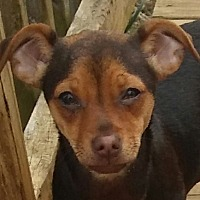 Yorkie, Yorkshire Terrier/Chihuahua Mix Puppy for adoption in Staunton, Virginia - Twix