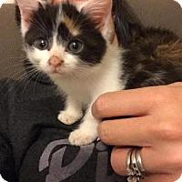 Adopt A Pet :: Oriole - Herndon, VA