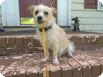 Westie, West Highland White Terrier/Chihuahua Mix Dog for adoption in West Springfield, Massachusetts - Toby