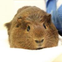 Adopt A Pet :: Freddy - Montreal, QC