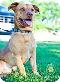 Dachshund/American Pit Bull Terrier Mix Dog for adoption in Seattle, Washington - Boomer