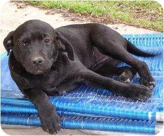Labrador Retriever/Terrier (Unknown Type, Medium) Mix Puppy for adoption in Haughton, Louisiana - Ariel