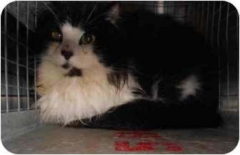 Domestic Longhair Cat for adoption in Yuba City, California - Unknown Sex/Age