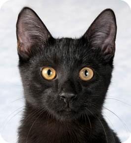 Domestic Shorthair Kitten for adoption in Chicago, Illinois - Cameron