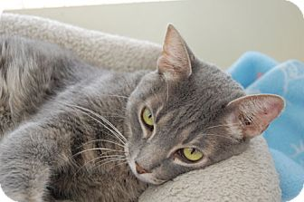 Domestic Mediumhair Cat for adoption in San Dimas, California - Grey Boy