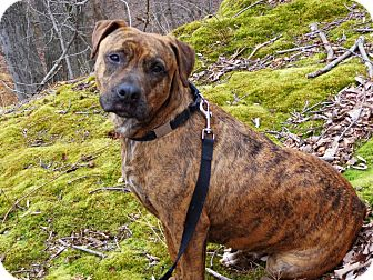Boxer/American Pit Bull Terrier Mix Dog for adoption in Bedford, Virginia - Sweet Sadie Mae