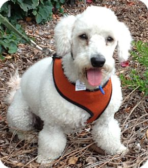 Poodle (Miniature) Mix Dog for adoption in Poway, California - BENY