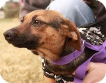 Beagle/Dachshund Mix Dog for adoption in Portland, Maine - Miss Highway-Reduced Fee!