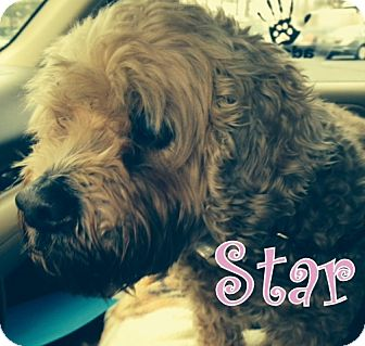 Cockapoo/Cocker Spaniel Mix Dog for adoption in New Jersey, New Jersey - Ocean Grove NJ - Star