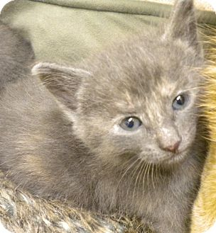 Domestic Shorthair Kitten for adoption in Adrian, Michigan - Bree