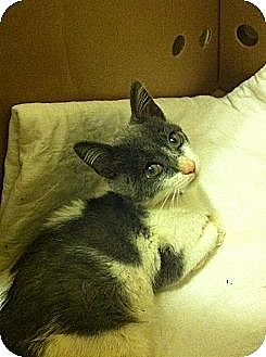 Domestic Shorthair Kitten for adoption in Binghamton, New York - Bobbles