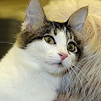 Domestic Shorthair Cat for adoption in League City, Texas - DELILAH
