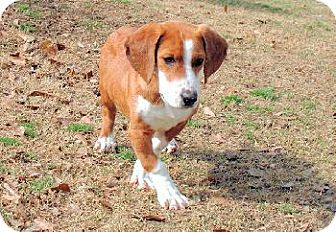 Basset Hound Dog for adoption in Wetumpka, Alabama - #80137