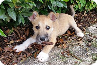 Wirehaired Fox Terrier/Jack Russell Terrier Mix Puppy for adoption in Huntsville, Alabama - Amelia