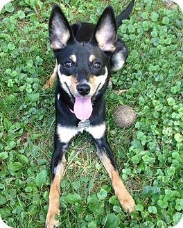 Miniature Pinscher/Chihuahua Mix Dog for adoption in New York, New York - LANEY